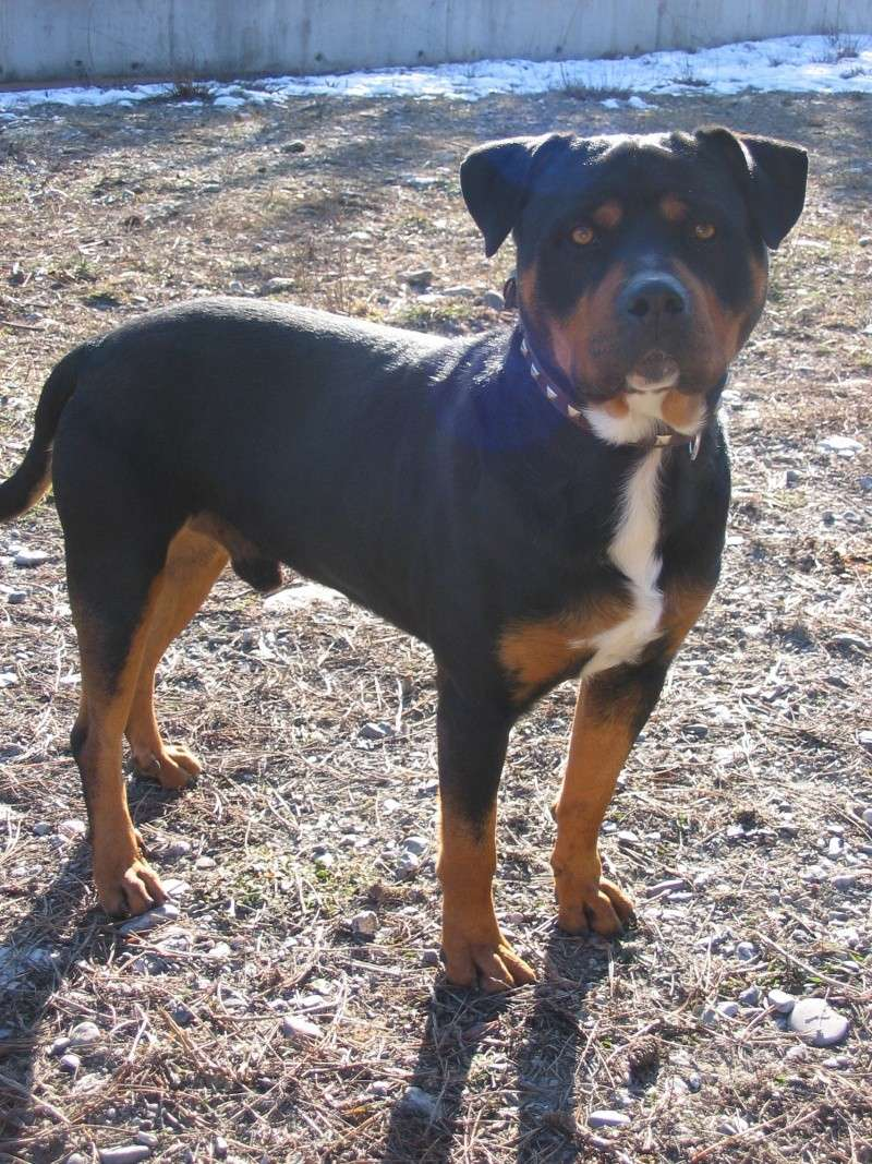 Rottweiler croisé boxer z l u b